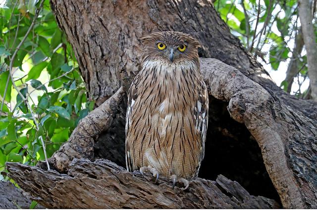 Brown Fish Owl - Ketupa zeylonensis