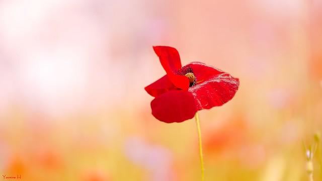 Poppy - 6850