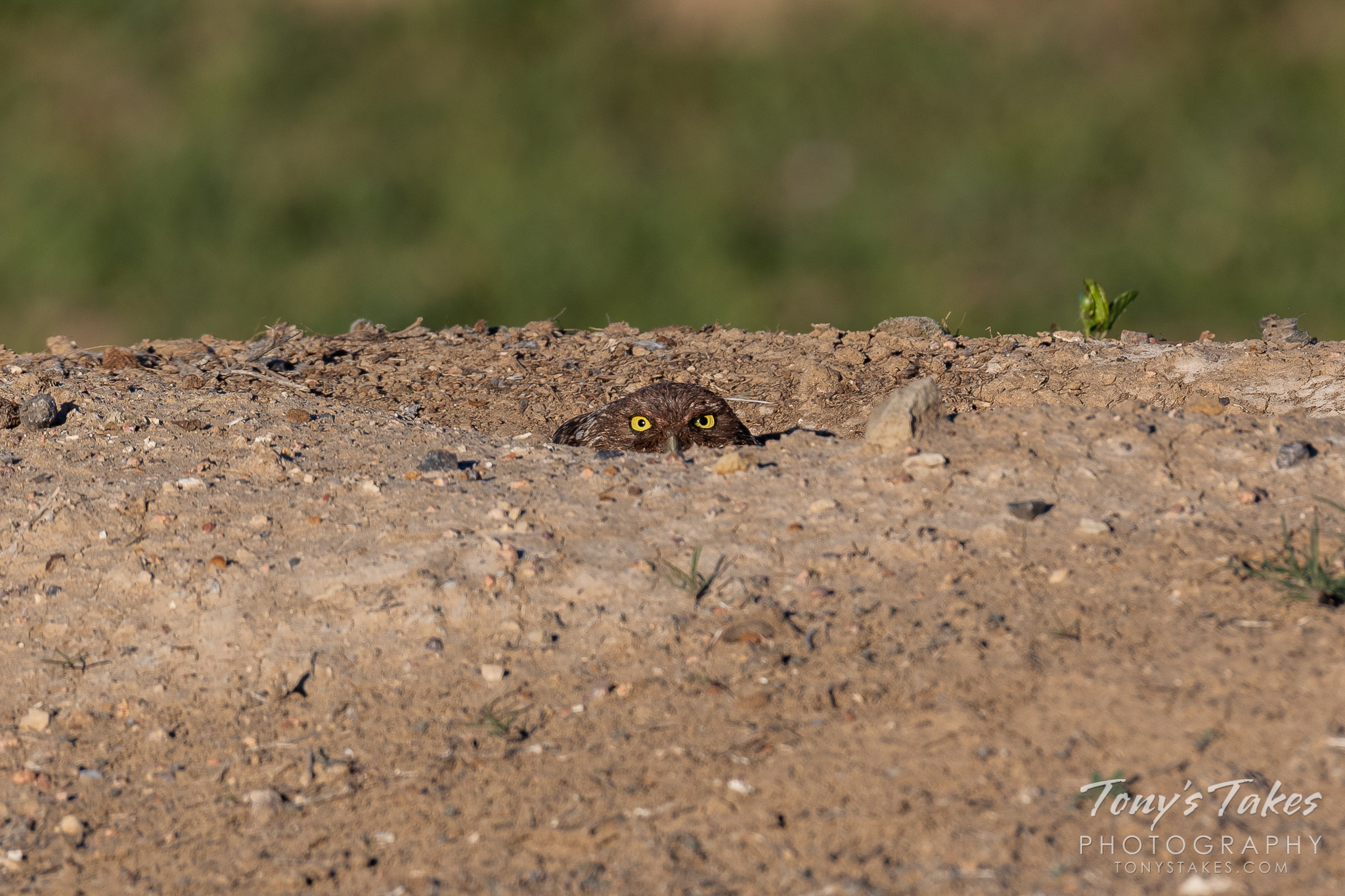 A burrowing owl stays low in its burrow but keeps a close watch. (© Tony's Takes)