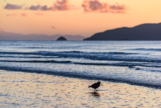 Oyster Catcher on Waikanae Beach