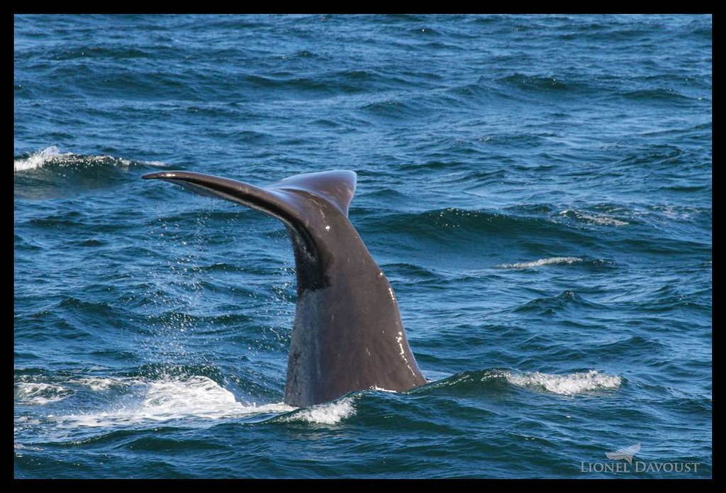 Diving sperm whale