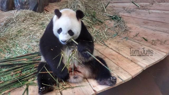 Giant Panda, Ouwehands Dierenpark, Rhenen, Netherlands - 5310