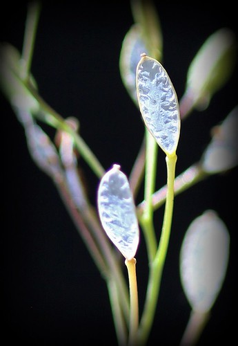 Erophila verna (= Draba verna) - drave printanière 47959610792_8c35a990d8