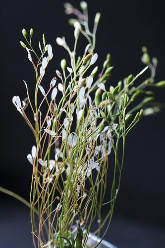 Draba verna (= Erophila verna) - drave printanière 47959646771_c759e3b721