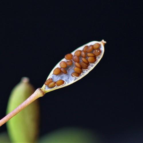 Draba verna (= Erophila verna) - drave printanière 47959647311_f6b4f2eb2c