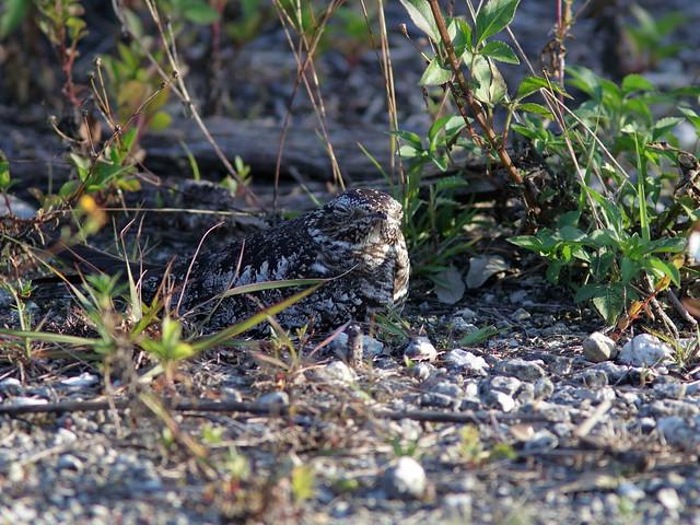 Common Nighthawk female incubating 02-20190529