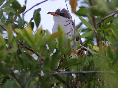 Yellow-billed Cuckoo 02-20190529
