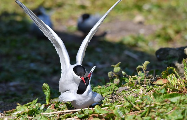 Arctic Terns -  mating/nesting time on Inner Farne Island (The Farne Islands)