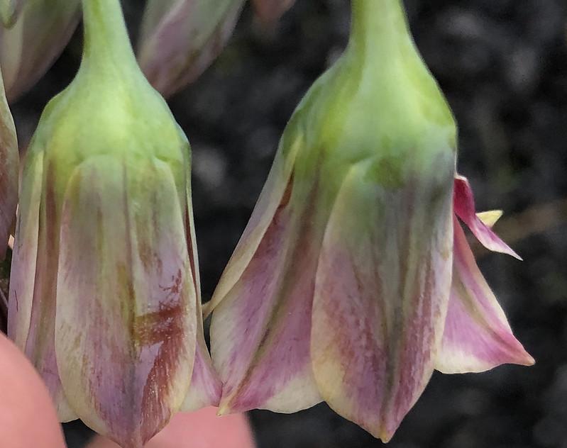 Allium Siculum, Honey Garlic