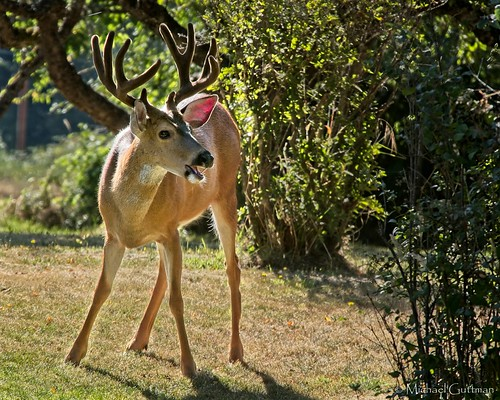 deer blacktaileddeer buck eugene oregon antlers nature outside outdoors wildlife animal