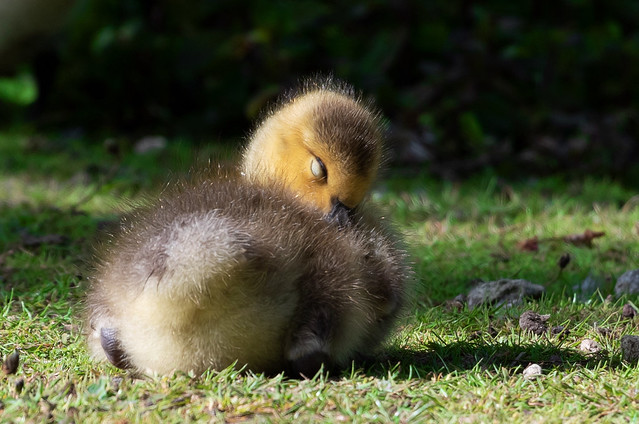 one very tired little gosling
