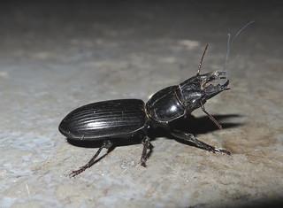 Beetle IMG_2983
