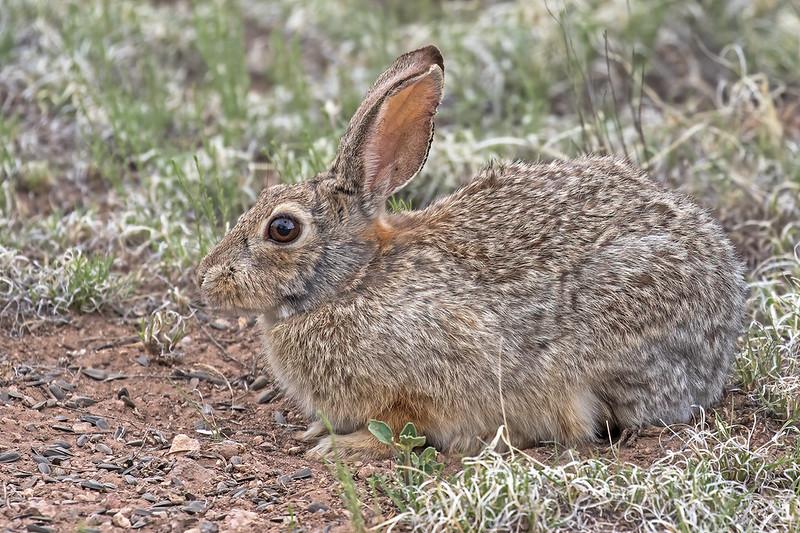 Rabbit-32-7D2-052619