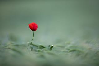 lonely poppy