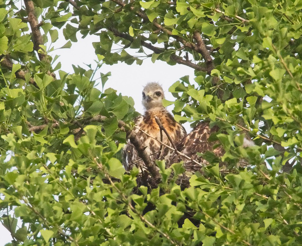 Tompkins Squaer red-tail nestling