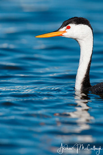 Clark's Grebe Portrait | by Let there be light (A.J. McCullough)