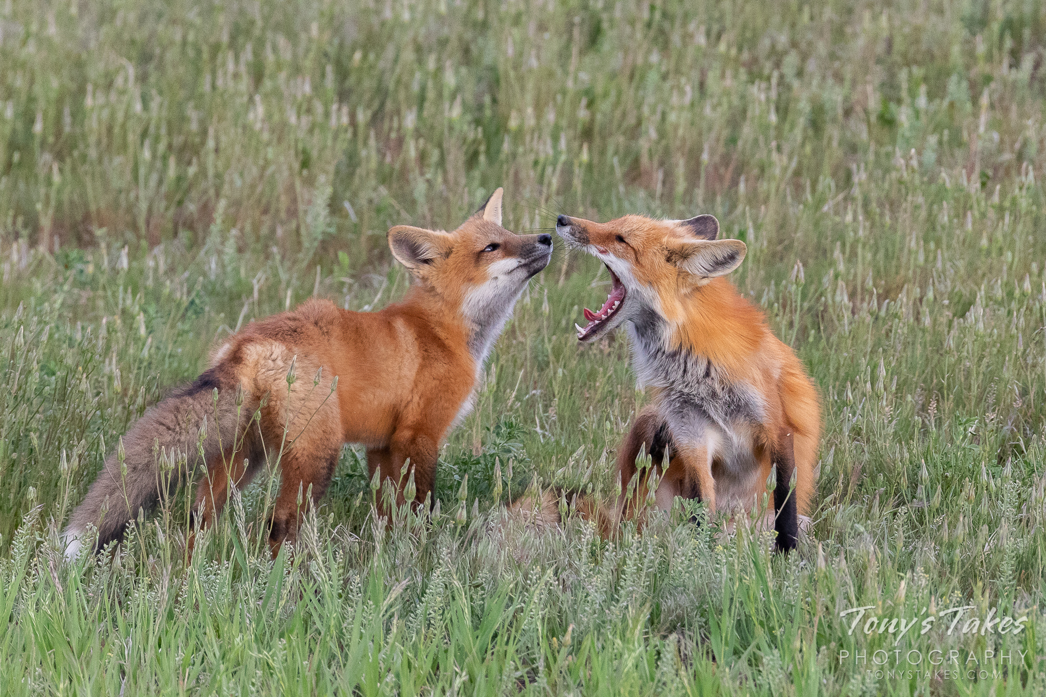 A red fox kit checks out its mother's mouth while she yawns. (© Tony's Takes)