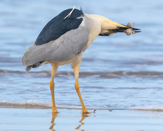 Black-crowned Night-Heron---Nycticorax nycticorax