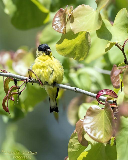 Lesser Goldfinch male puffball
