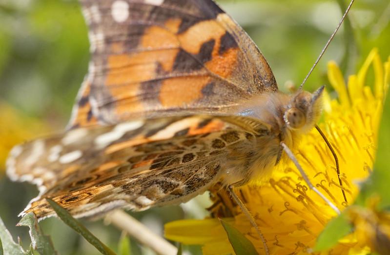 Butterfly Closer
