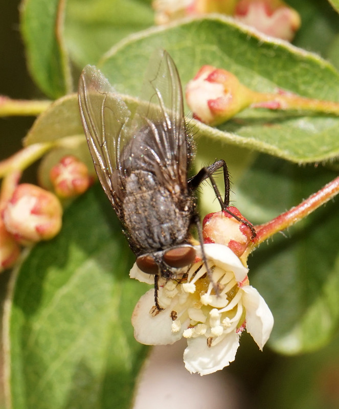 Fly Pollinating