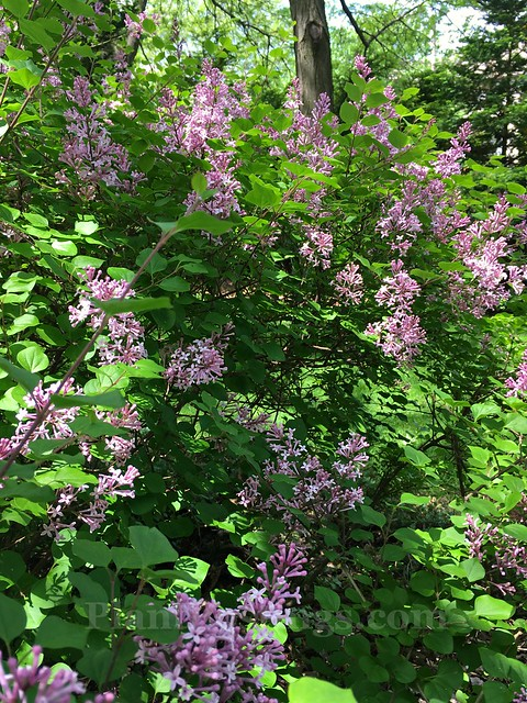 lilac blooms 2