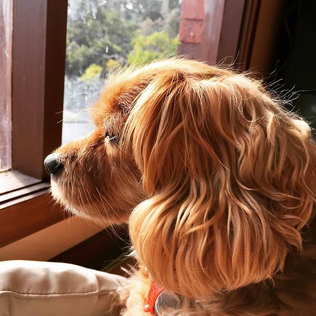 Reflective mood on a cold wintry morning #tobikenobi #dogsofinstagram #dog