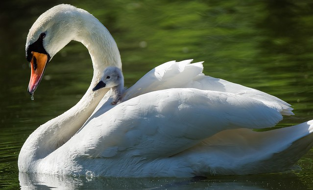 Mom and Junior swan (3/4) : together
