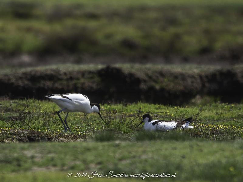Kluut (Recurvirostra avosetta)-619_2049