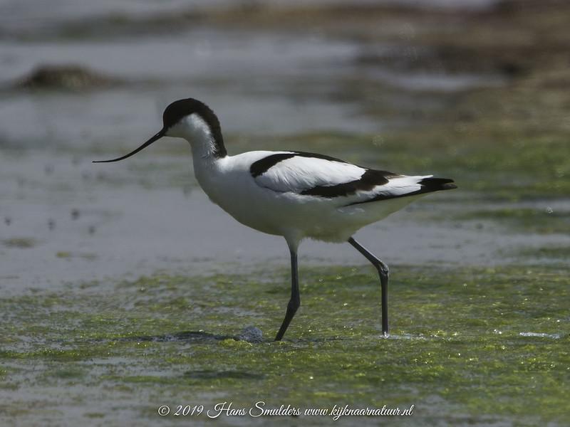 Kluut (Recurvirostra avosetta)-619_2086