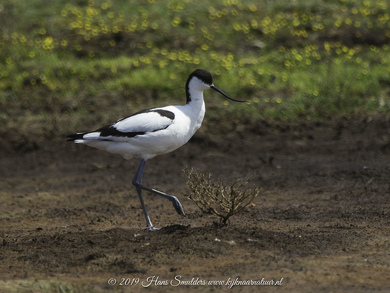 Kluut (Recurvirostra avosetta)-619_2080