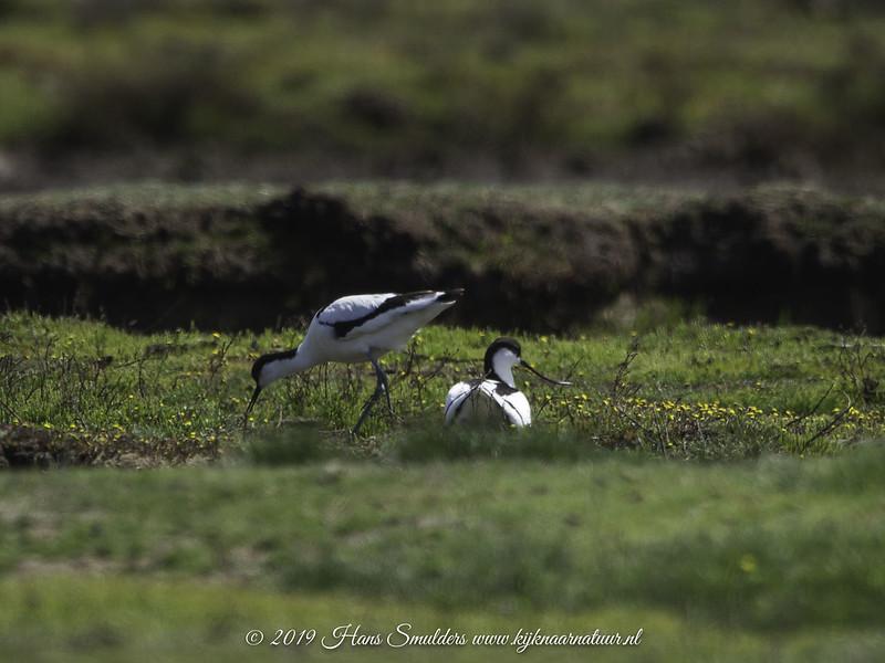Kluut (Recurvirostra avosetta)-619_2051