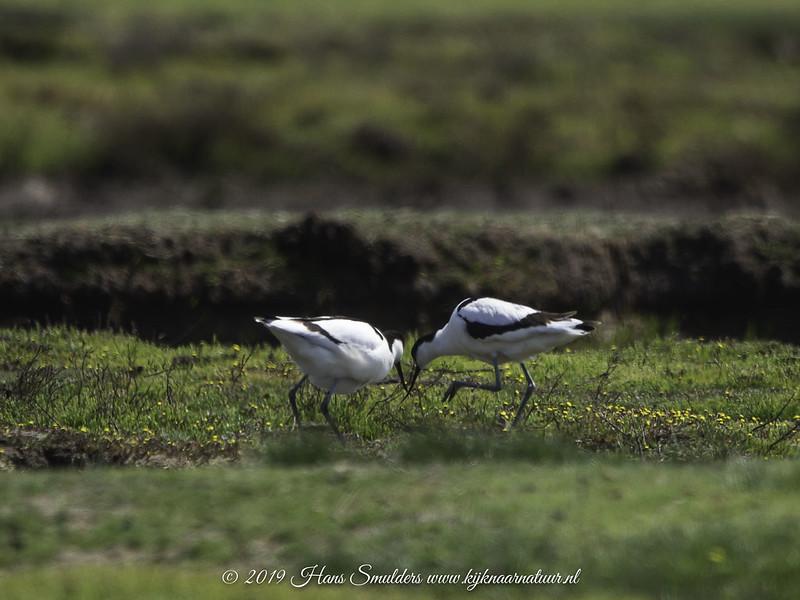 Kluut (Recurvirostra avosetta)-619_2050