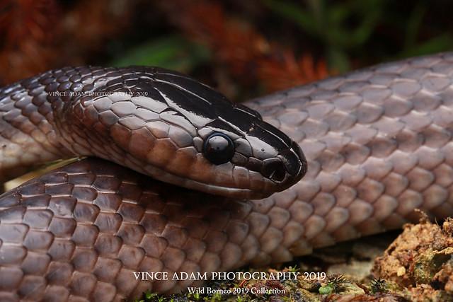 IMG_1761-1(W) Bornean Black Snake (Stegonotus borneensis)