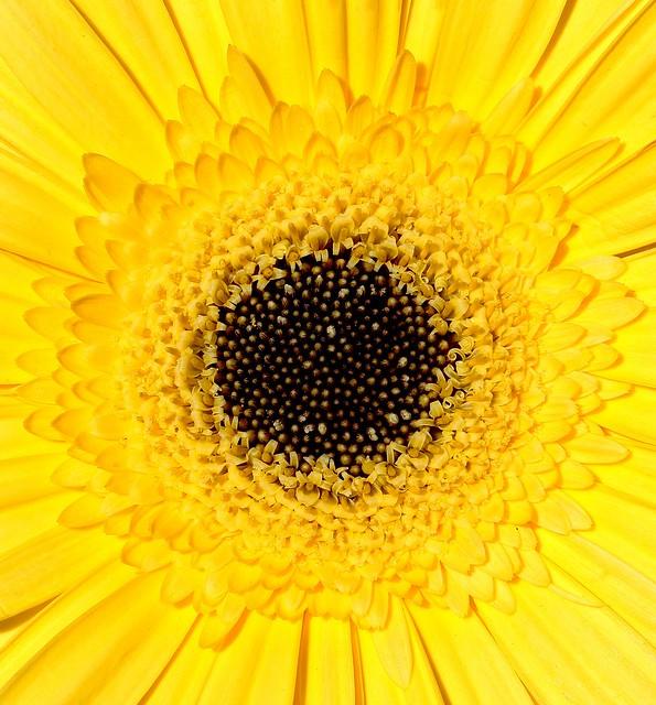 Perpignan garden gerbera flower