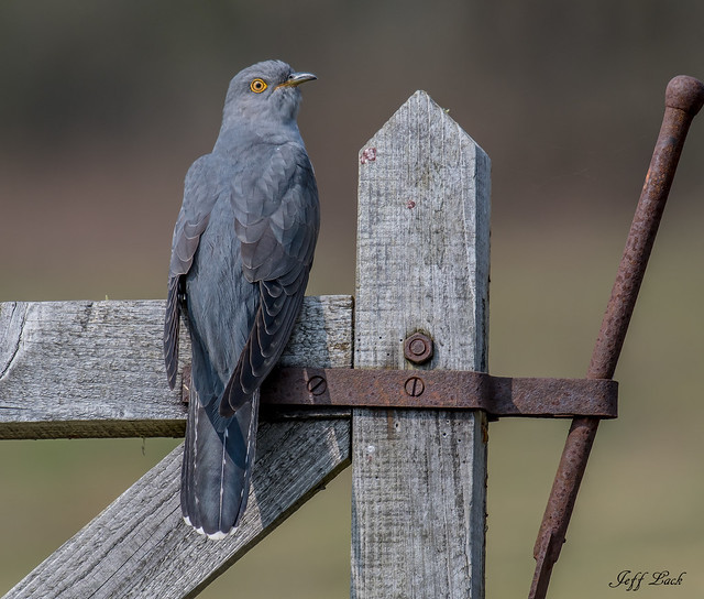 DSC7907  Cuckoo...
