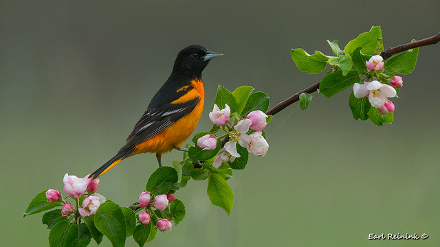 Oriole and blossums