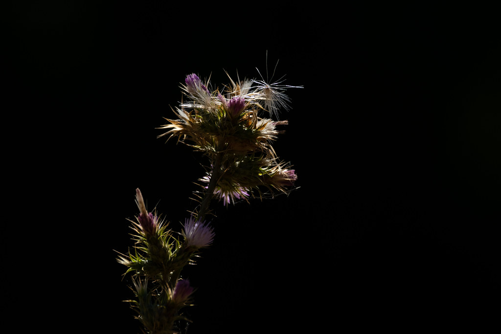 Back-lit Thistle