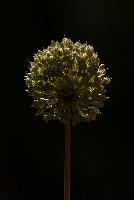 Back-lit Allium
