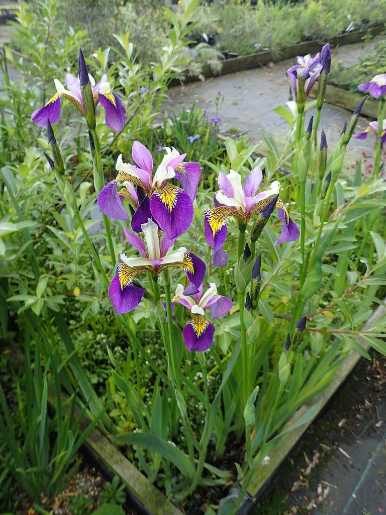 Iris Regal Surprise