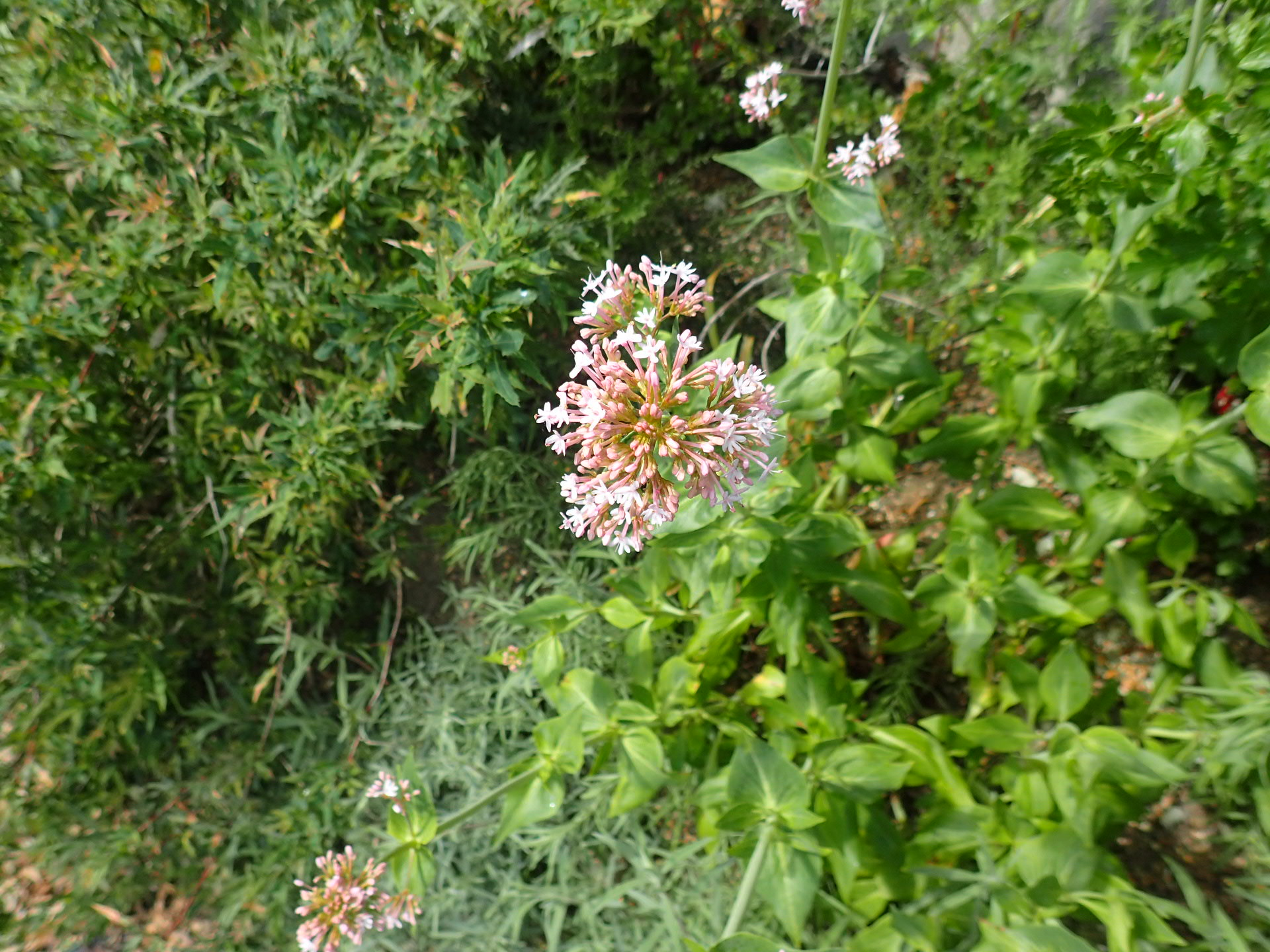 Centranthus ruber First Blush