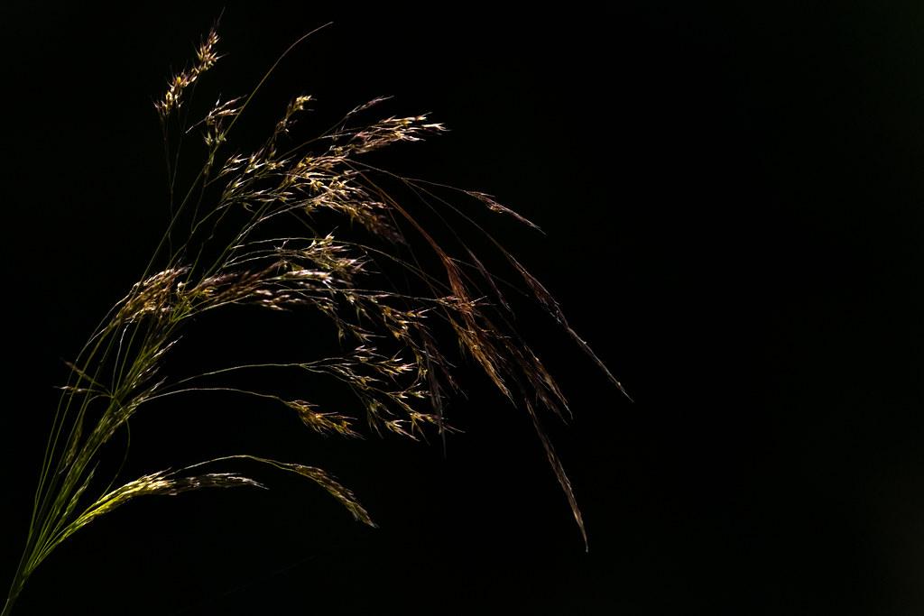 Back-lit Grass