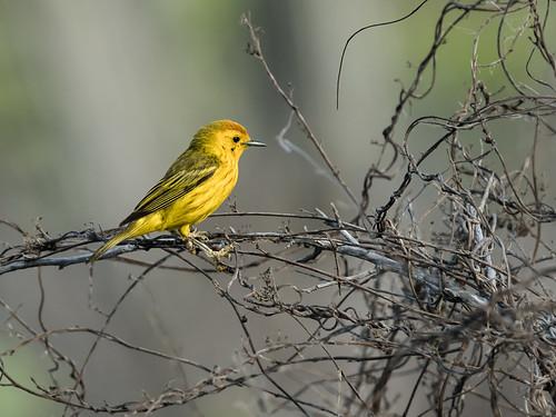 yellowwarbler parulidae americanyellowwarbler setophagapetechia goldenwarbler