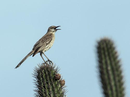 mimidae mimusgundlachii bahamamockingbird