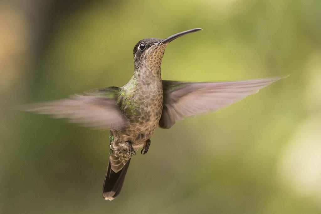 Magnificent Hummingbird - Eugenes spectabilis
