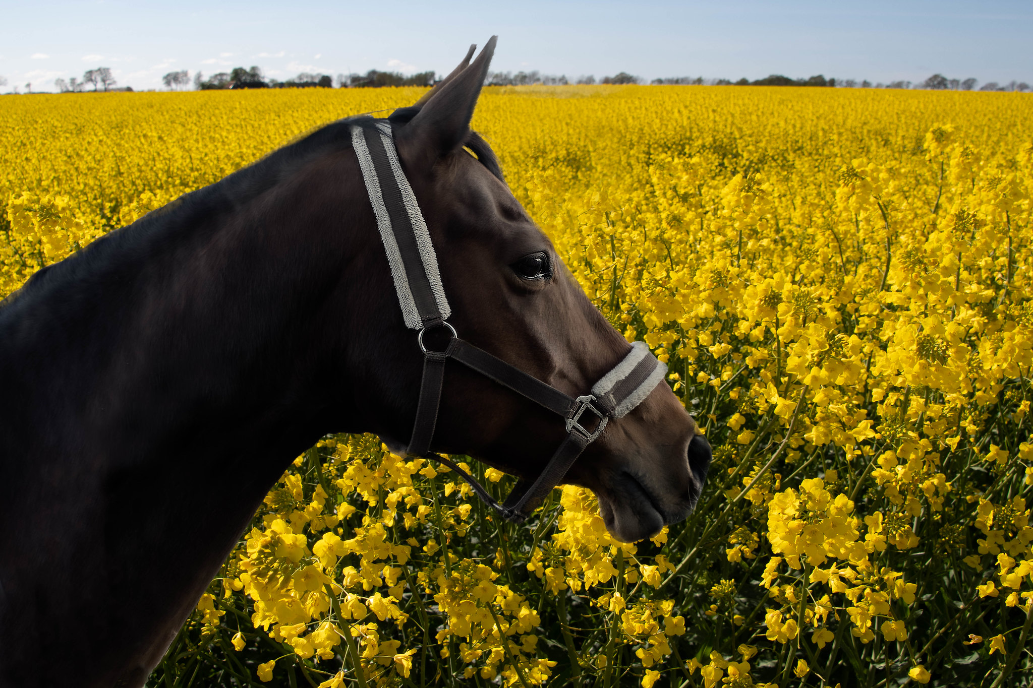 Yellow mustard fields horse view.jpg