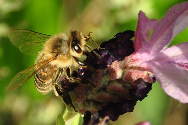 Mai-Spaziergang in Ilvesheim mit Schopflavendel, Wiesensalbei und Felsenbirne, Bienen und einer Schwebfliege ... Fotos: Brigitte Stolle, Mai 2019
