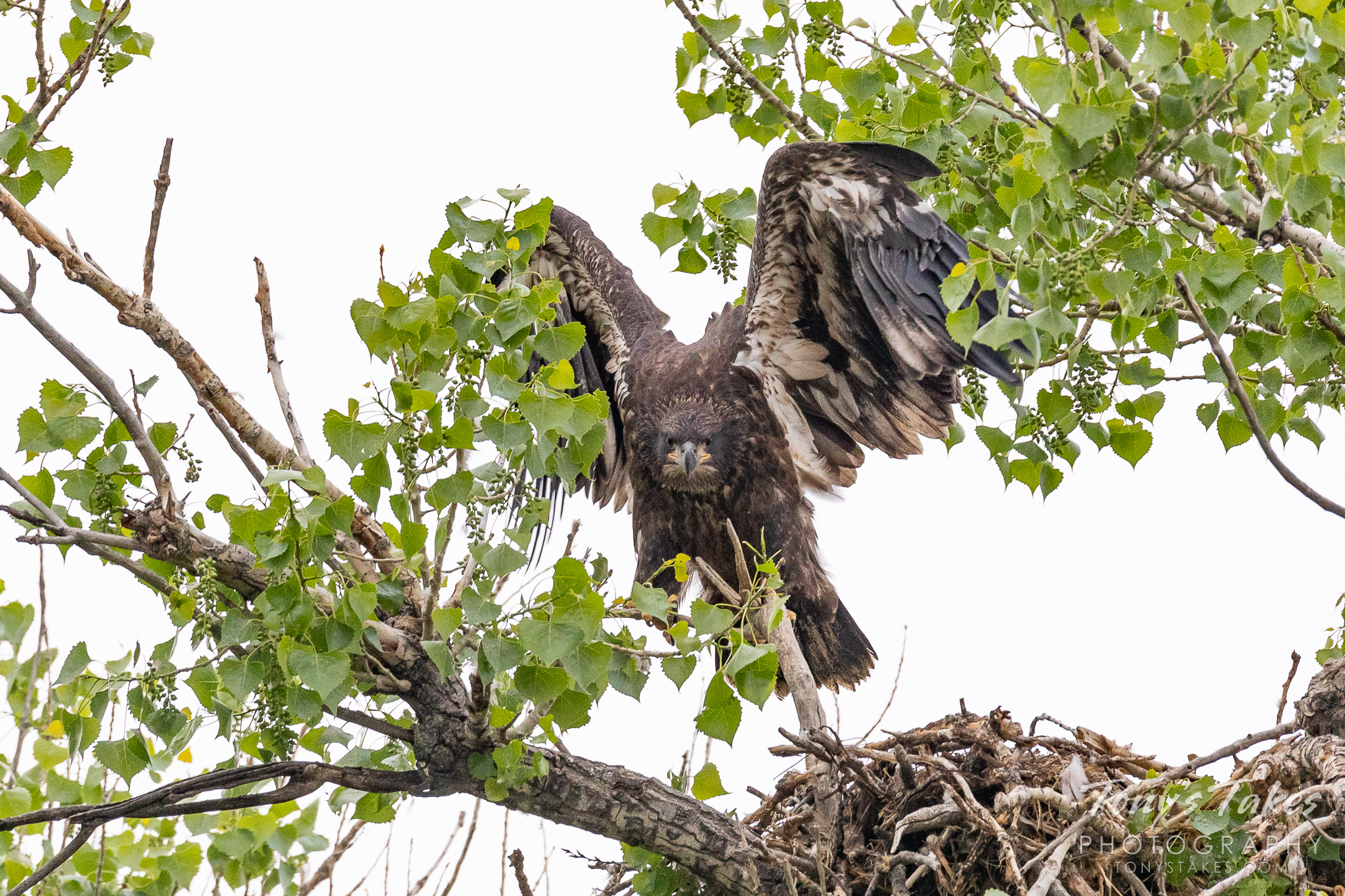 A young bald eagle tests its wings by hopping from the nest to a branch. (© Tony's Takes)
