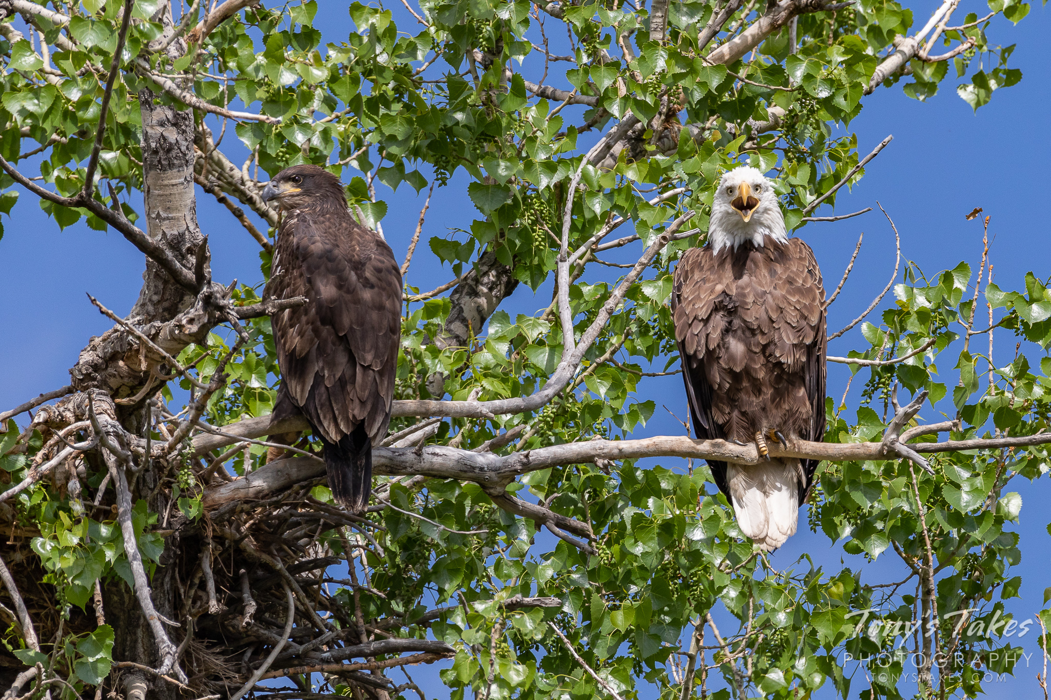 An adult bald eagle makes some noise while perched next to its juvenile offspring. (© Tony's Takes)