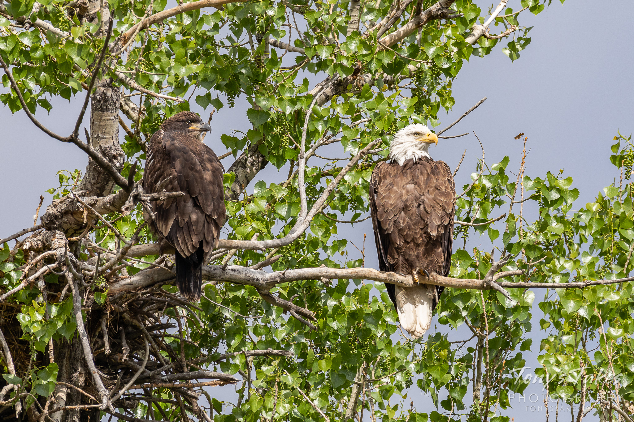 An adult and juvenile bald eagle hang out at home. (© Tony's Takes)